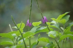 purlple flowers consta rica_JPG