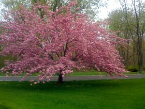 spring-time-for-a-pink-tree