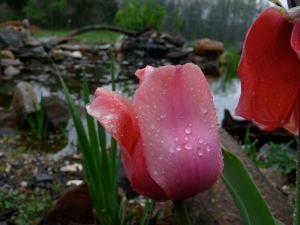 pond-and-tulipjpg1