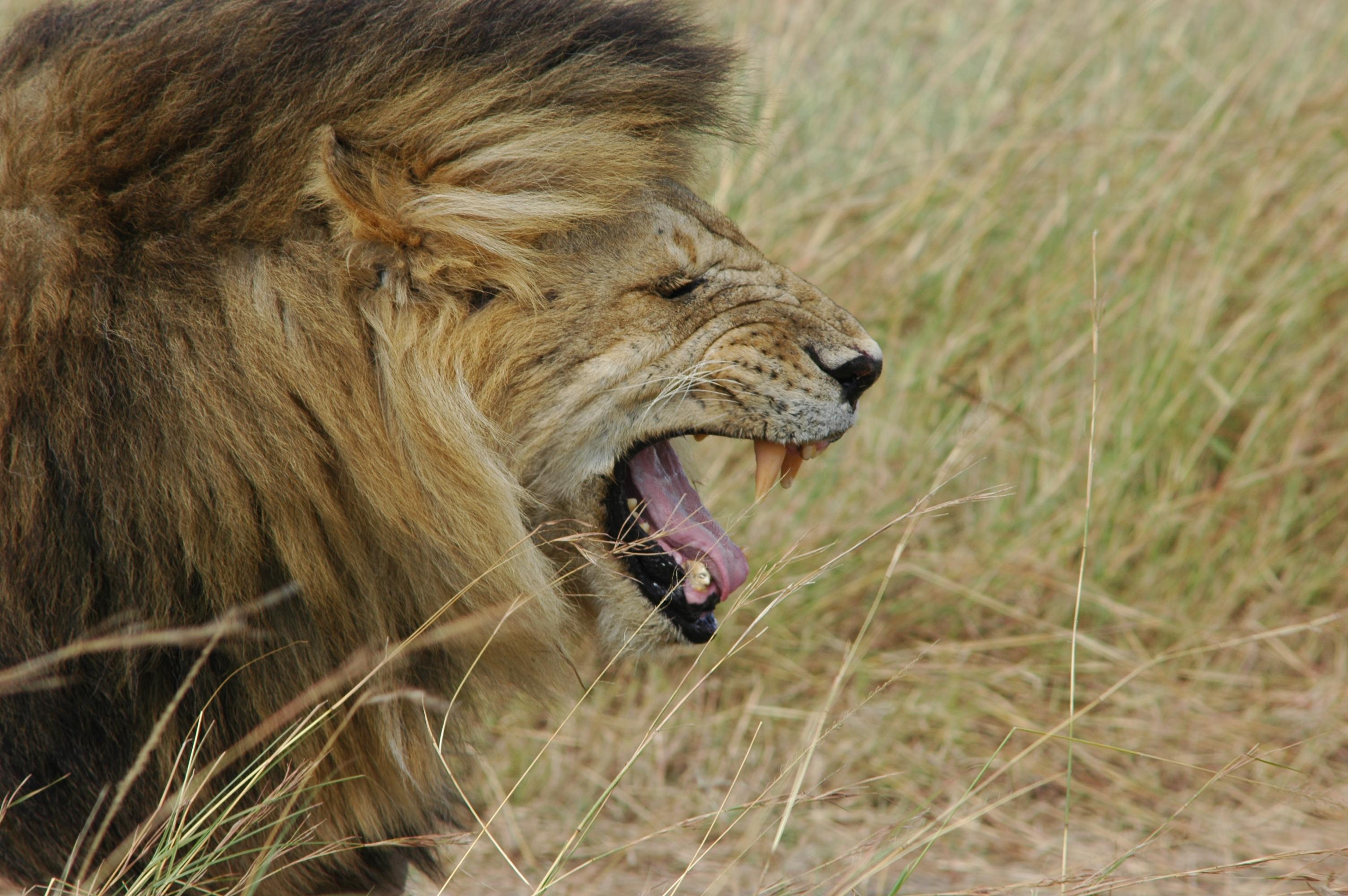 Lion side view face roar - photo#2